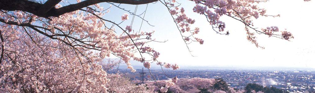 烏帽子山公園の桜